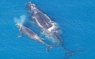 The Humpback Whale with baby. Whale watching is a big event in Hawaii, Maui. Credit@Wikipedia