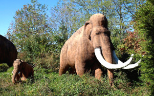 The woolly mammoth (Mammuthus primigenius) lived during the Pleistocene epoch, and was one of the last mammoth species. Credit@Paul/Flickr